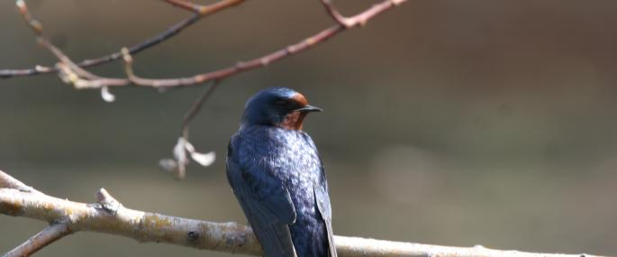 Swallows are often seen perched on telephone wires - Philip Precey - Philip Precey